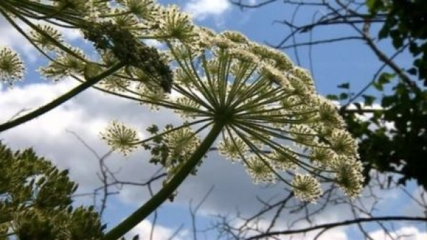 Beware Giant Hogweed!